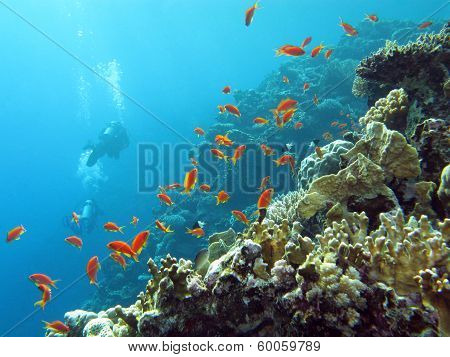coral reef with divers and exotic fishes anthias at the bottom of tropical sea on blue water background poster
