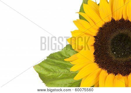 Sunflower, Alias Helianthus Annuus, Sliced Halfway