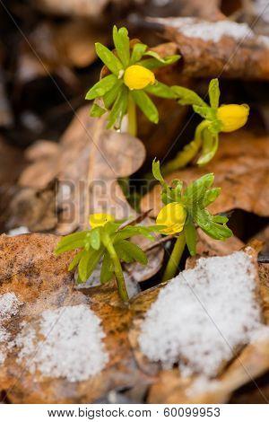 Yellow Spring Crocus In Snow