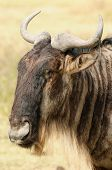 Wildlife Wildebeest on the safari in Africa poster