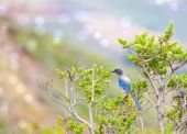Western blue bird sitting on the branch in the summer time poster