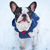 French bulldog in winter jacket on the walk poster