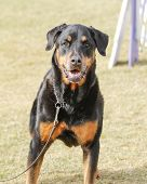 A large Rottweiler posing on the lawn at an obedience event poster