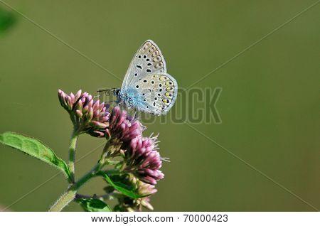 Silver-studded Blue (Plebejus argus).Butterfly.