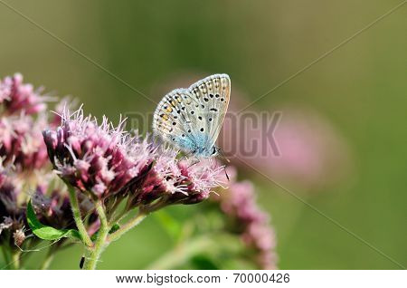 Silver-studded Blue.Butterfly.