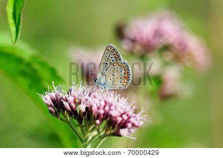 Butterfly.Silver-studded Blue (Plebejus argus).