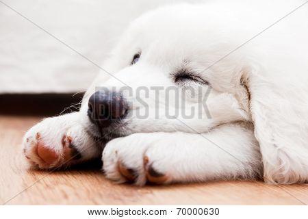 Cute white puppy dog sleeping on wooden floor. Polish Tatra Sheepdog, known also as Podhalan or Owczarek Podhalanski