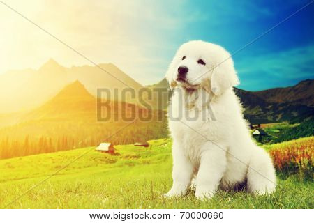 Cute white puppy dog in mountains. Polish Tatra Sheepdog, known also as Podhalan or Owczarek Podhalanski in Tatra Mountains