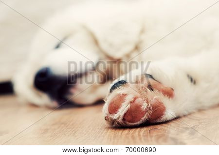 Cute white puppy dog sleeping on wooden floor. Paw in focus. Polish Tatra Sheepdog, known also as Podhalan or Owczarek Podhalanski