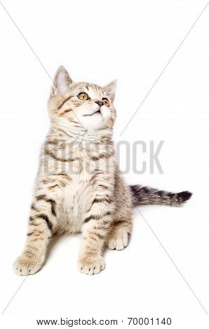 Cute Kitten Scottish Straight