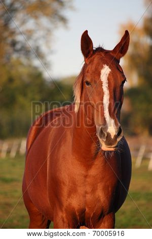 Beautiful Chestnut Horse Portrait In Autumn