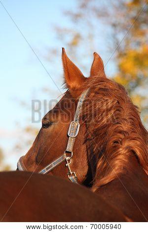 Beautiful Chestnut Horse Portrait In Autumn