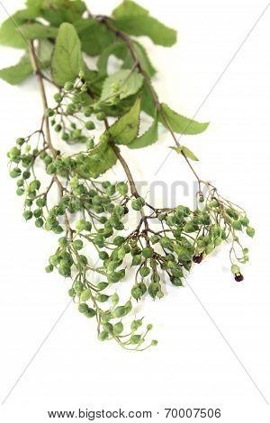 Green Bei Xuan Shen