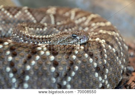 Western diamondback rattlesnake coiled over body