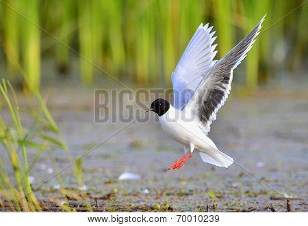Black-headed Gull (larus Ridibundus) Flying