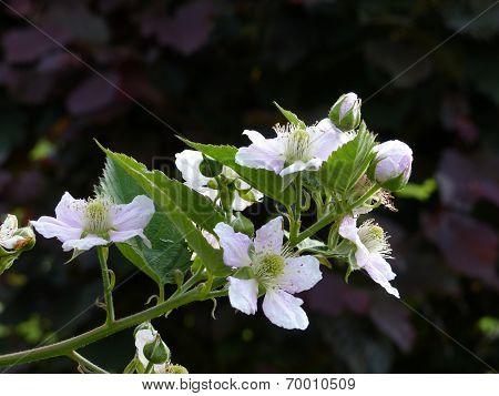 Blackberry Organic Garden