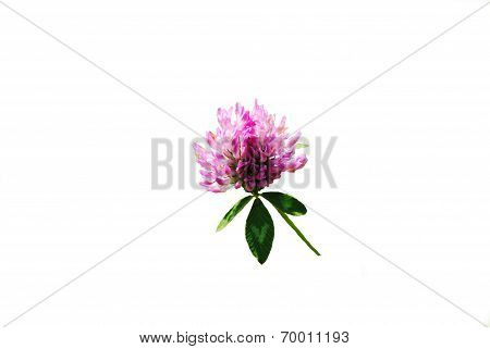 Wild Pink Clover Isolated Over White
