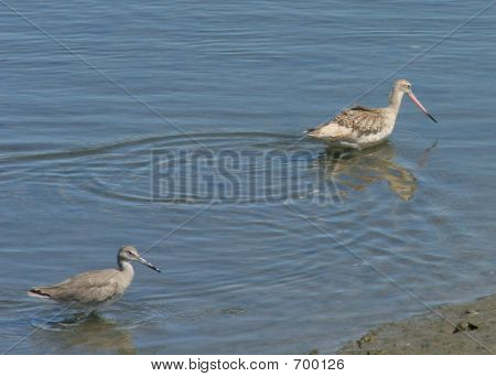 Two brown shore birds or wetland birds wading in shallow blue water looking for fish to catch. poster
