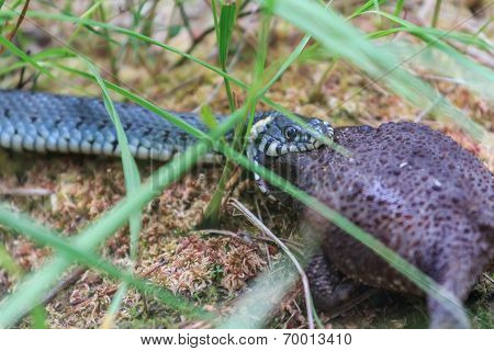 Grass Snake Catching Common Toad