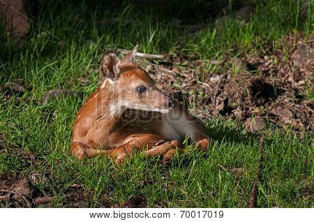 White-tailed Deer (odocoileus Virginianus) Fawn Looks Right