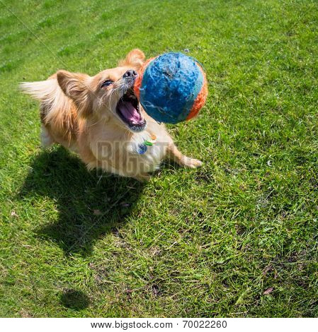 Dog Playing At The Ball