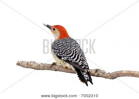 red-bellied woodpecker with a snow covered beak; white background poster