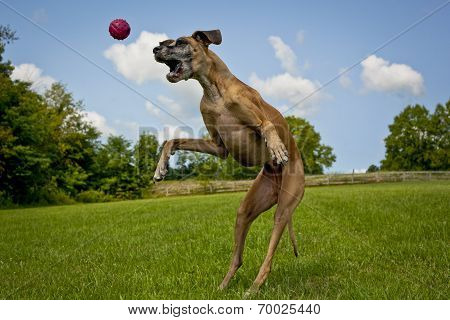 Great Dane leaping in mid air trying to grab red ball poster