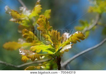 Branch Of Oak Tree