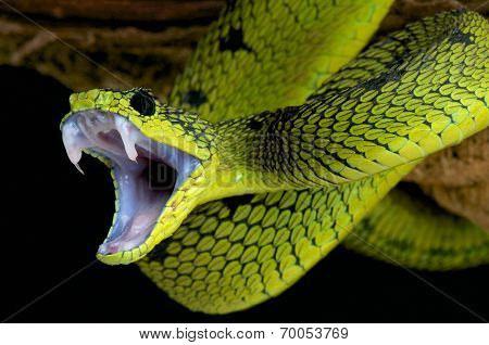 Biting snake