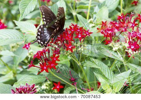 Black Butterfly In Field Of Red Flowers