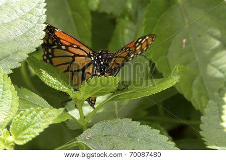 Butterfly Peeking Through Leaves