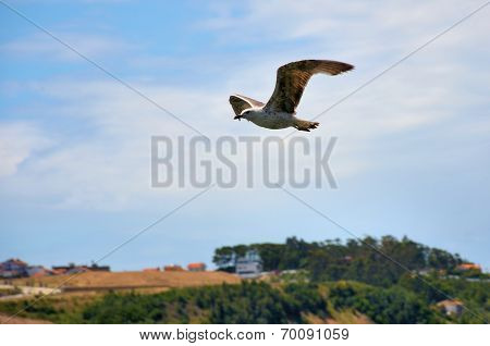Brown seagull flying