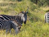 An adult zebra stares warily as the younger zebra chows down on grass. poster