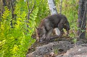 Grey Wolf Pup (Canis lupus) Sniffs Atop Rock - captive animal poster