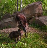 Black Wolf (Canis lupus) and Pup Intense Look - captive animals poster