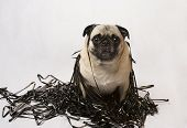 Pug sitting in a pile of data tape backups, showing a light-hearted approach as to why data should be protected poster