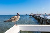 Close-up of a seagull in Sopot Pier Gdansk with the baltic Sea in the background poster