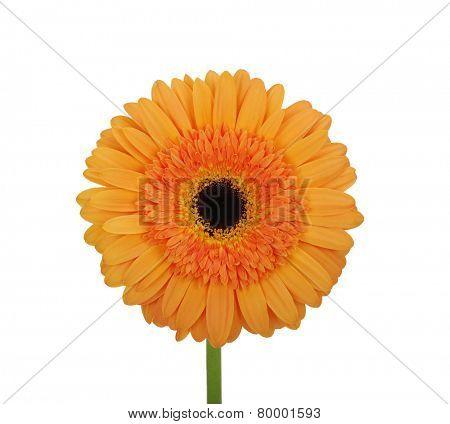 orange flower on a white background