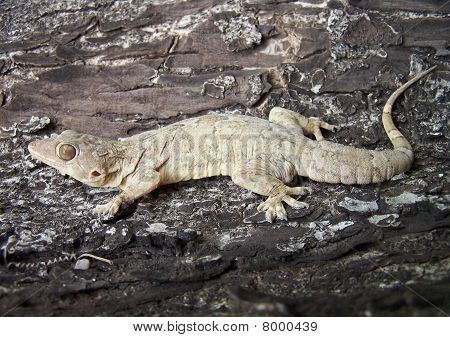 Hemidactylus gigantius(Giant Indian Gecko) on a tree