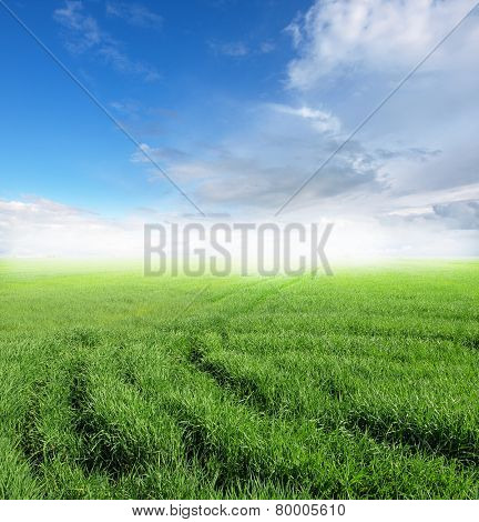 green Wheat field against a blue sky