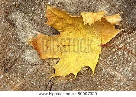 One Maple Tree Dry Leaf