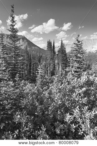 Canadian Landscape With Forest. Icefields Parkway. Alberta. Canada