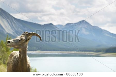 Canadian Landscape With Mountain Goat In Alberta. Canada