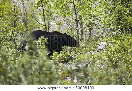Canadian Landscape With Black Bear In Alberta. Canada