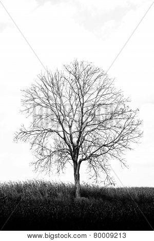 A Tree Among Corn Field