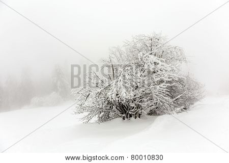 Pine Trees In The Snow In Front Of A Blizzard