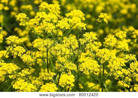 Yellow Rapeseed Flowers (brassica Napus)