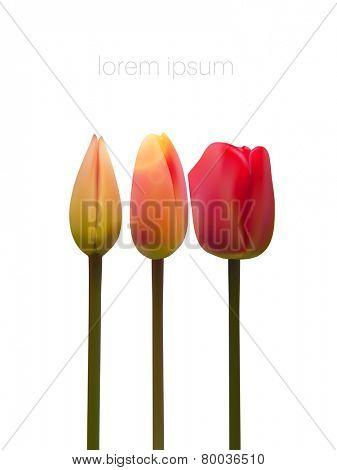 vector tulip illustration