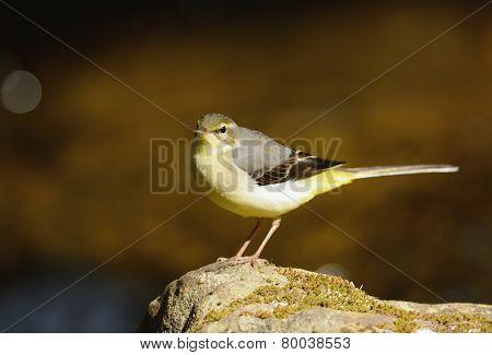 Gray Wagtail (motacilla Cinerea)
