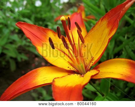 Yellow And Red Lily Flower